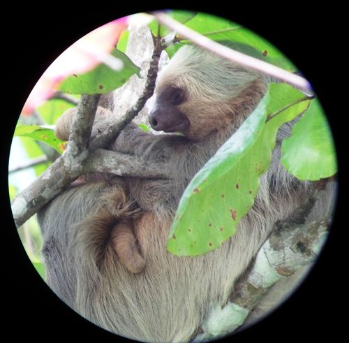 Manuel Antonio - sloth with baby shot through telescope