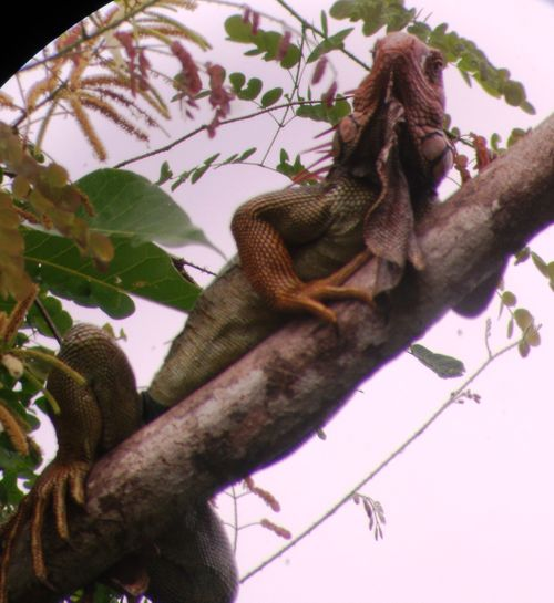 Manuel Antonio National Park - big lizard